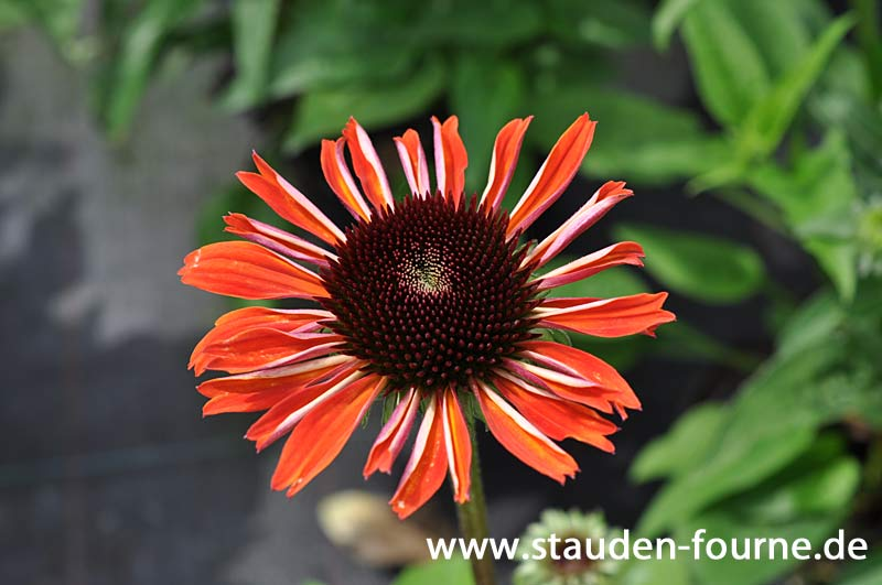 echinacea-orange