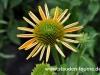 echinacea-gelb