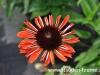 echinacea-orange