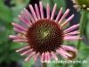 echinacea-rosa