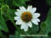 echinacea-wei%c3%9f