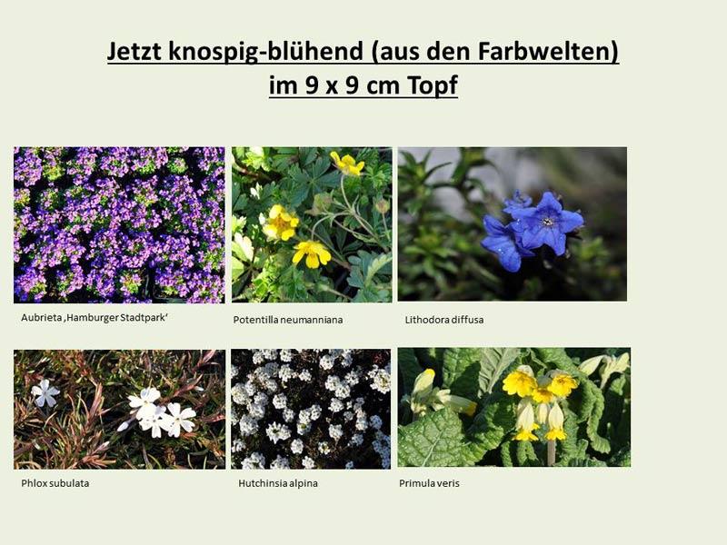 knospigkw-11