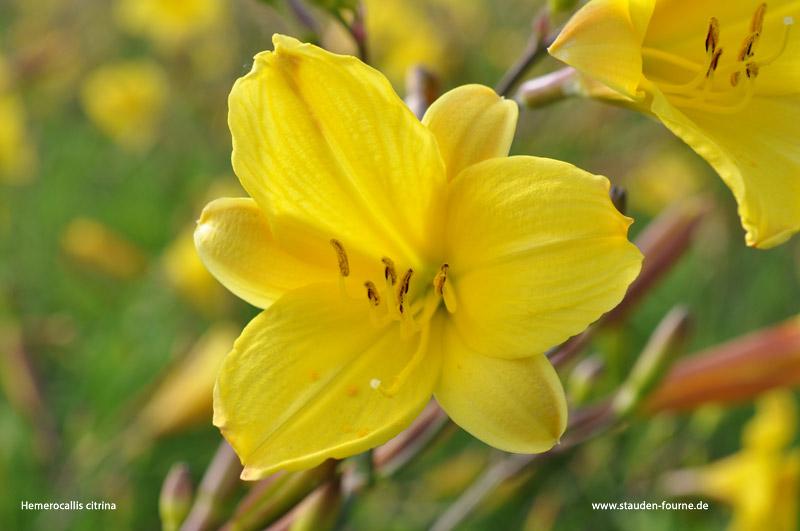 hemerocallis-citrina